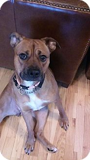 Boxer/Terrier (Unknown Type, Medium) Mix Dog for adoption in Akron, Ohio - Rox