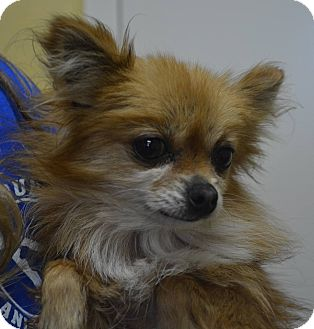 Pomeranian Mix Dog for adoption in Winchester, Kentucky - Roxie