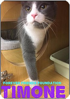 Domestic Shorthair Kitten for adoption in Northfield, Ohio - Timone