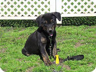 Labrador Retriever/Dachshund Mix Puppy for adoption in Hartford, Connecticut - EMMY