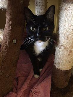 Domestic Shorthair Cat for adoption in Canton, Ohio - Heidi