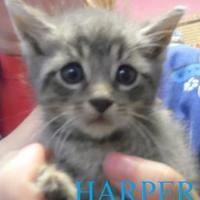 Adopt A Pet :: HARPER - Franklin, NC
