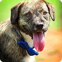 Adopt A Pet :: Ham - Greenville, SC