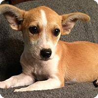 Adopt A Pet :: Daphne - Hartford, CT