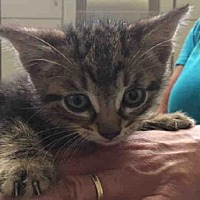 Adopt A Pet :: STEWY - Rogers, AR