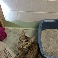 Adopt A Pet :: Cookie - Land O Lakes, FL
