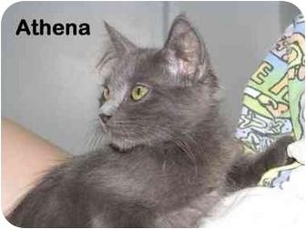 Maine Coon Kitten for adoption in AUSTIN, Texas - Athena