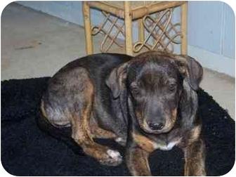 Hound (Unknown Type)/Beagle Mix Puppy for adoption in Sacramento, California - Britt