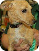 Chihuahua/Terrier (Unknown Type, Small) Mix Dog for adoption in Houston, Texas - Willy