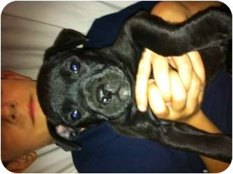 American Pit Bull Terrier/Boxer Mix Puppy for adoption in Hammonton, New Jersey - banana