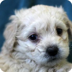 Bichon Frise Mix Puppy for adoption in La Costa, California - Gemma