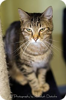 Domestic Shorthair Cat for adoption in Byron Center, Michigan - Jazlyn