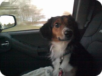 Sheltie, Shetland Sheepdog/Border Collie Mix Dog for adoption in Youngstown, Ohio - Shadow ~ Adoption Pending
