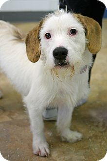Beagle/Jack Russell Terrier Mix Dog for adoption in East Hanover, New Jersey - Noelle