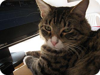 Domestic Mediumhair Cat for adoption in Fallon, Nevada - Tiger