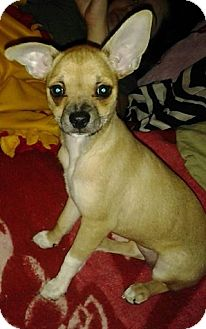Chihuahua Mix Puppy for adoption in Rancho Cucamonga, California - Misty