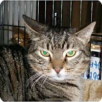 Domestic Shorthair Cat for adoption in Ocean City, New Jersey - Barn Cats