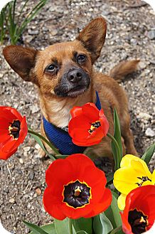 Chihuahua/Dachshund Mix Dog for adoption in Seymour, Connecticut - RHETT
