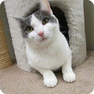 Domestic Shorthair Cat for adoption in Gilbert, Arizona - Spaghetti