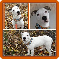 Adopt A Pet :: Hank - Monteregie, QC