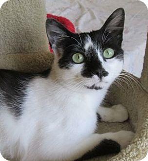Domestic Shorthair Cat for adoption in Buhl, Idaho - Watson