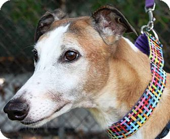 Greyhound Dog for adoption in Orange County, California - Current