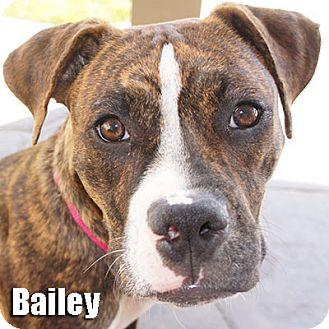 Boxer Puppy for adoption in Encino, California - Bailey