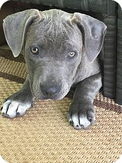 American Staffordshire Terrier/American Pit Bull Terrier Mix Puppy for adoption in Warrenville, Illinois - Wendy
