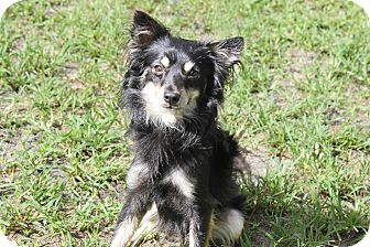 Chihuahua/Italian Greyhound Mix Dog for adoption in Boca Raton, Florida - Rico