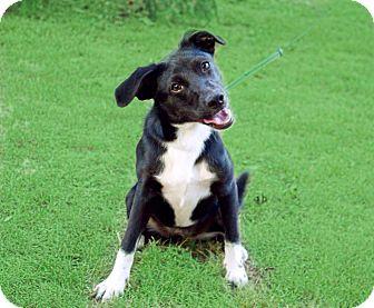 Border Collie Mix Puppy for adoption in Brattleboro, Vermont - PUPPY DORA