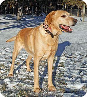 Labrador Retriever Mix Dog for adoption in Park Rapids, Minnesota - Lindy