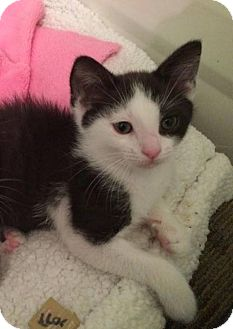 Domestic Shorthair Kitten for adoption in Palatine, Illinois - Oreo