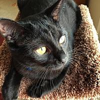 Adopt A Pet :: Muffin - Rochester Hills, MI
