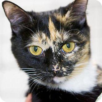 Domestic Shorthair Cat for adoption in Salem, Massachusetts - Ella