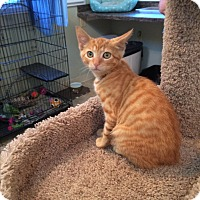 Adopt A Pet :: SUNNY aka TIGER LILY - Hamilton, NJ