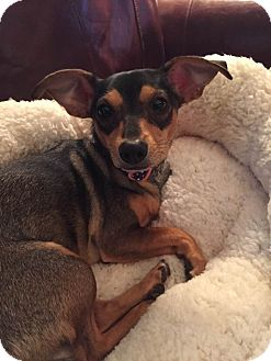 Miniature Pinscher Mix Puppy for adoption in Fort Atkinson, Wisconsin - Reecey