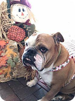 English Bulldog Dog for adoption in Odessa, Florida - Cassie