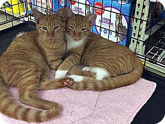 Domestic Shorthair Kitten for adoption in College Station, Texas - Blaze
