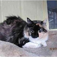 Domestic Mediumhair Cat for adoption in Conway, South Carolina - Spaz