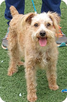 Poodle (Miniature)/Schnauzer (Miniature) Mix Dog for adoption in West Sand Lake, New York - Murphy (11 lb) Sweetest Boy