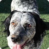 Adopt A Pet :: Ross - Phoenix, AZ