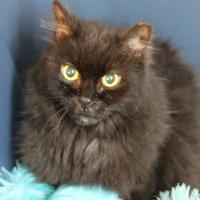 Domestic Longhair/Maine Coon Mix Cat for adoption in Metairie, Louisiana - Angel Wings