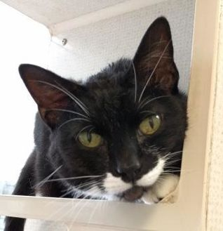 Domestic Shorthair/Domestic Shorthair Mix Cat for adoption in Evansville, Indiana - Oreo
