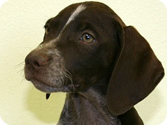 German Shorthaired Pointer/Mixed Breed (Medium) Mix Puppy for adoption in Republic, Washington - Perch