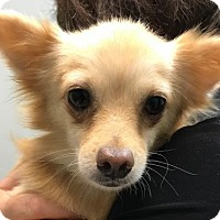 Chihuahua Mix Dog for adoption in Phoenix, Arizona - Scooter