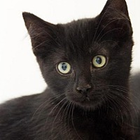 Domestic Longhair Kitten for adoption in St. Paul, Minnesota - Professor