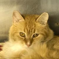 Domestic Longhair/Domestic Shorthair Mix Cat for adoption in BATH, New York - Blossom
