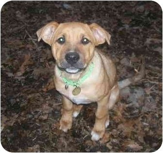Boxer/Rottweiler Mix Puppy for adoption in Oak Ridge, New Jersey - Hawaii