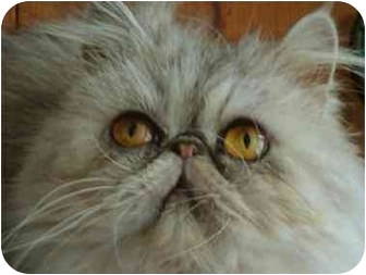 Persian Cat for adoption in Beverly Hills, California - Sophie