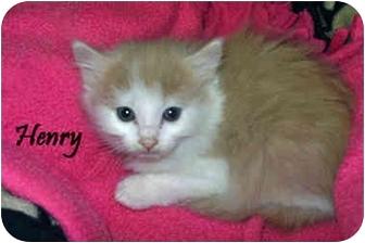 Domestic Longhair Kitten for adoption in Chester, Maryland - Henry
